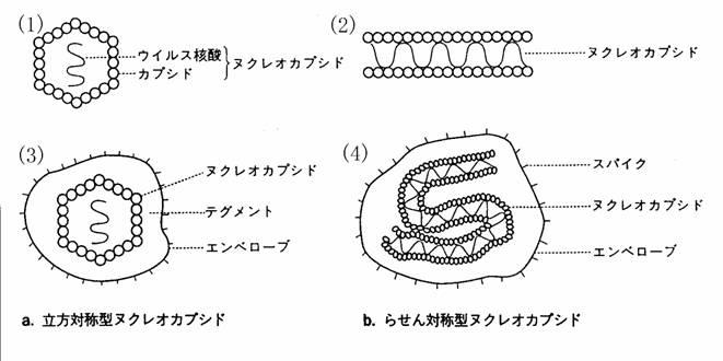 コロナ ウイルス エンベロープ